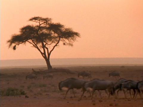 Wildebeests walk across the African savannas Stock Video Footage