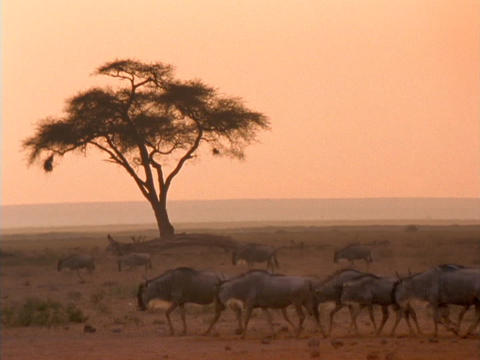 Wildebeests walk across the African savannas Stock Video Footage