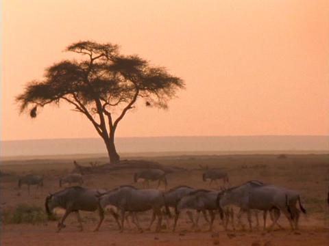 Wildebeests walk across the African savannas Live Action