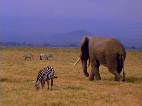 An elephant walks among zebras on the African plains Footage