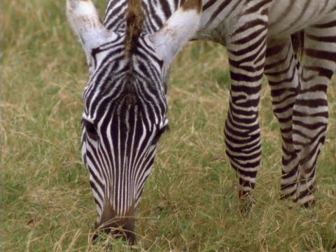 A zebra grazes on the plains in Kenya, Africa Stock Video Footage
