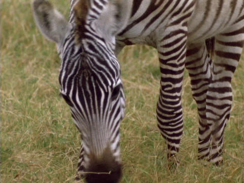 A zebra grazes on the plains in Kenya, Africa Live Action