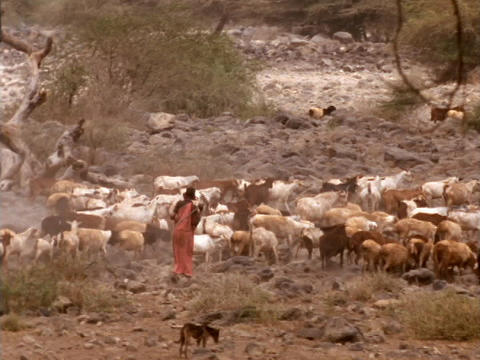 A shepherd herds goats in Kenya Stock Video Footage