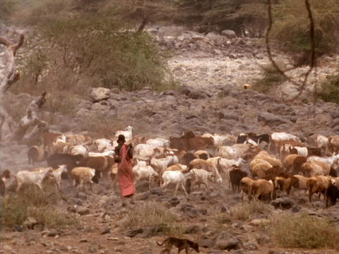 A shepherd herds goats in Kenya Stock Video Footage