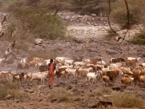 A shepherd herds goats in Kenya Footage