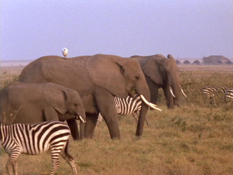 Elephants and zebras graze in Kenya, Africa Footage