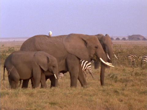 Elephants and zebras graze in Kenya, Africa Stock Video Footage