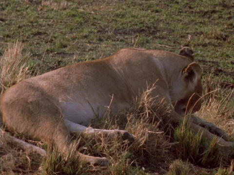 A lioness rests on the plains in Kenya, Africa Footage