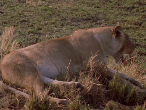 A lioness rests on the plains in Kenya, Africa Stock Video Footage