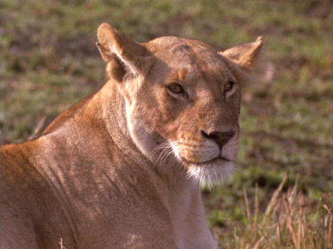A lioness suns in Kenya, Africa Stock Video Footage