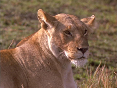 A lioness suns in Kenya, Africa Footage