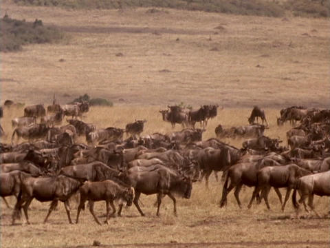 Wildebeests traverse the plains in Kenya, Africa Stock Video Footage