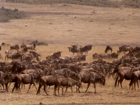 Wildebeests traverse the plains in Kenya, Africa Footage
