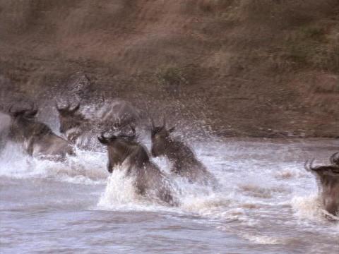 Wildebeests splash across a river in Kenya, Africa Footage