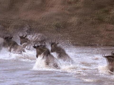 Wildebeests splash across a river in Kenya, Africa Stock Video Footage
