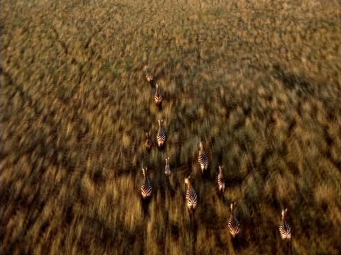 Zebras race across the African plains Stock Video Footage