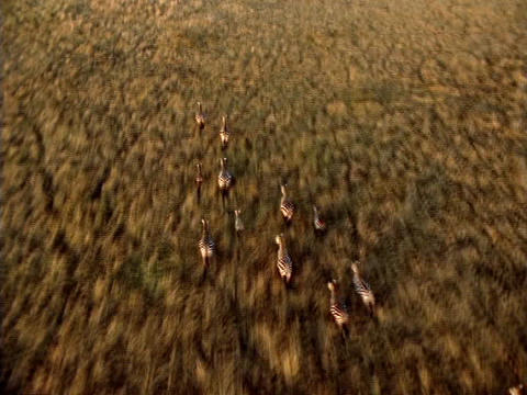 Zebras race across the African plains Footage