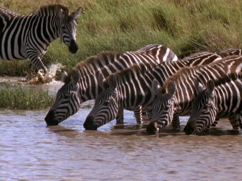 Zebras drink from a stream in Kenya, Africa Stock Video Footage