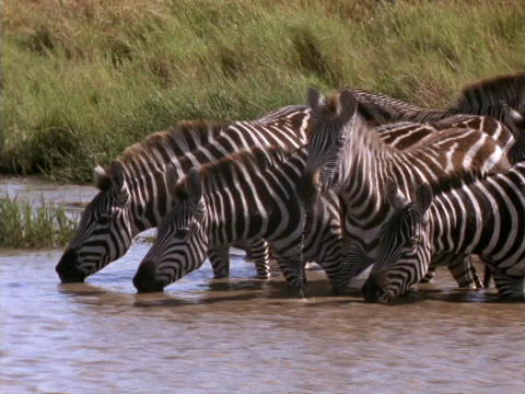 Zebras drink from a stream in Kenya, Africa Footage