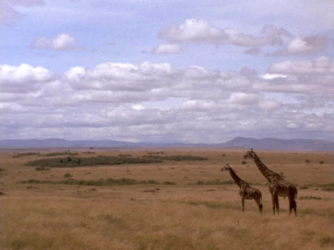 Giraffes stand on the plains of Kenya, Africa Stock Video Footage
