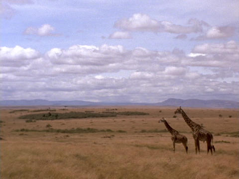 Giraffes stand on the plains of Kenya, Africa Live Action