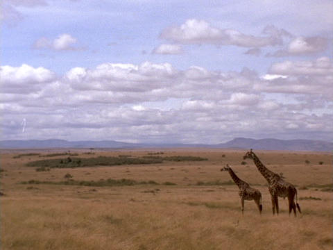 Giraffes stand on the plains of Kenya, Africa, Live Action