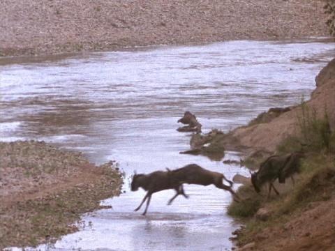 Wildebeests cross a river in Kenya, Africa Stock Video Footage