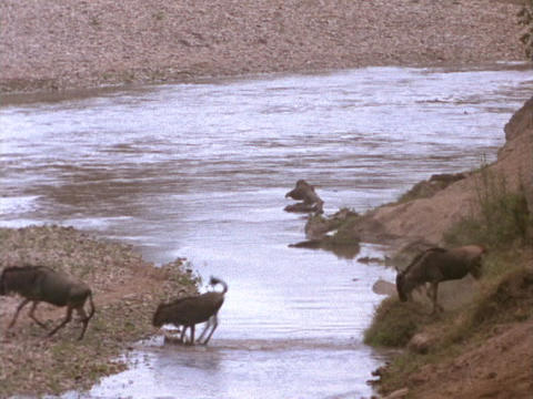 Wildebeests cross a river in Kenya, Africa Live Action