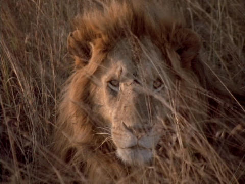 A lion lies in the grasslands of Kenya, Africa Footage