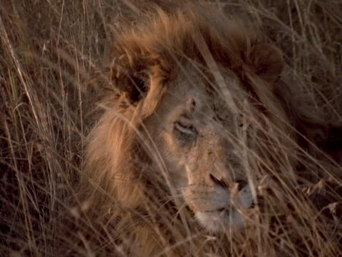 A lion lies in the grasslands of Kenya, Africa Stock Video Footage