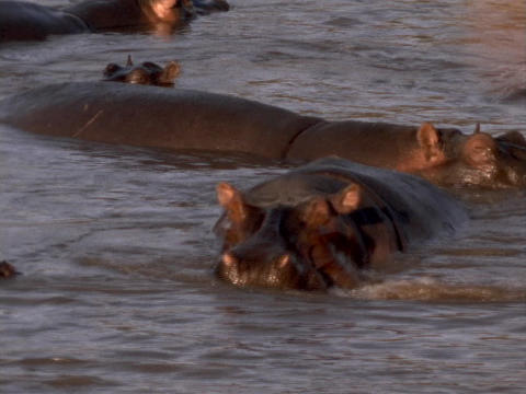 A hippopotamus yawns in the Kenya, Africa water Stock Video Footage