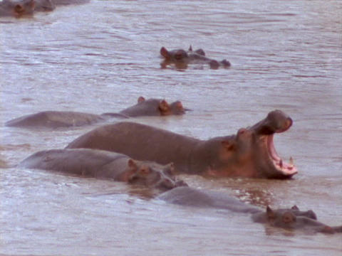 Hippopotamuses bathe and yawn in a river Stock Video Footage