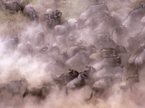 Stampeding wildebeests create a dust cloud in Kenya, Africa Stock Video Footage
