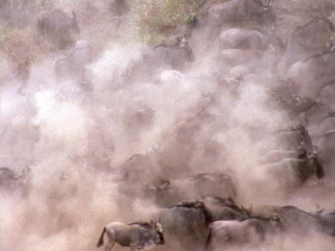 Stampeding wildebeests create a dust cloud in Kenya, Africa Footage