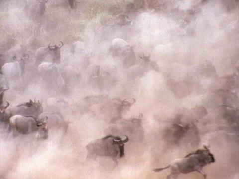 Stampeding wildebeests create a dust cloud in Kenya, Africa Stock Video Footage