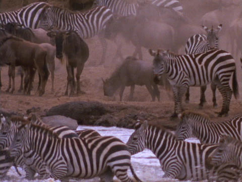 Zebras and wildebeests stand on the shore, as other... Stock Video Footage