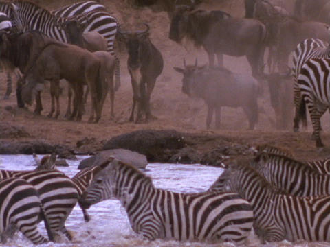 Zebras and wildebeests stand on the shore, as other zebras cross the river Live Action