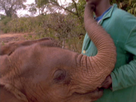 A baby elephant nuzzles its trainer Stock Video Footage