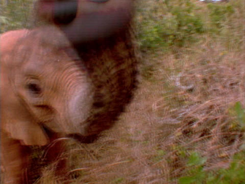 A baby elephant sniffs the camera in Africa Footage