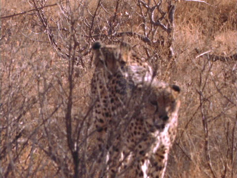Cheetahs walk through brush in Kenya, Africa Footage