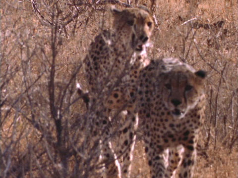 Cheetahs walk through brush in Kenya, Africa Stock Video Footage