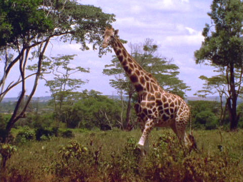 A giraffe walks across the plains in Kenya, Africa Stock Video Footage