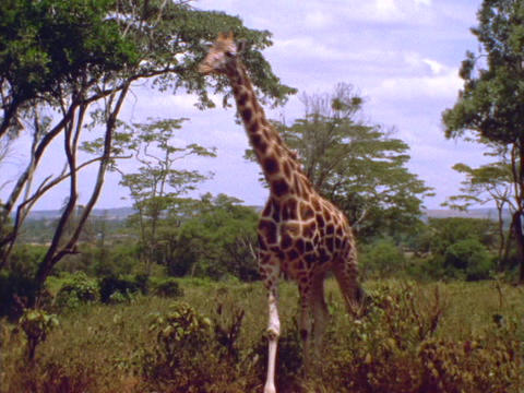 A giraffe walks across the plains in Kenya, Africa Live Action