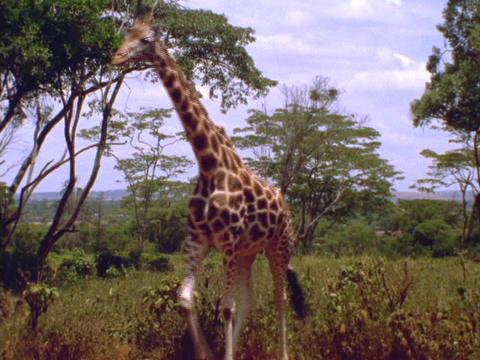 A giraffe walks across the plains in Kenya, Africa Stock Video Footage