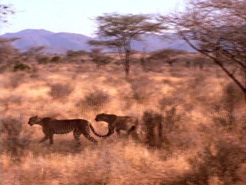 Cheetahs prowl the African plains Stock Video Footage