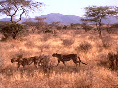 Cheetahs prowl the African plains Footage
