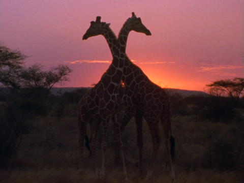Giraffes stroll on the plains in Kenya, Africa, Live Action
