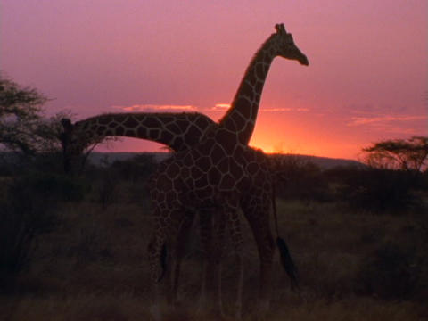 Giraffes stroll on the plains in Kenya, Africa Live Action