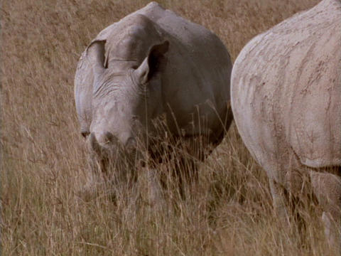 Rhinoceroses graze on the African grasslands Stock Video Footage