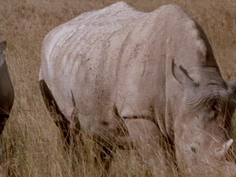 Rhinoceroses graze on the African grasslands Footage